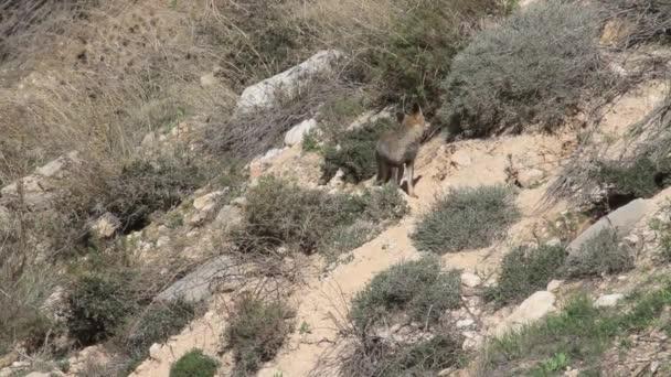 Fox walking on rocks