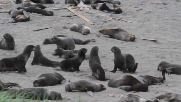 Group of fur seals