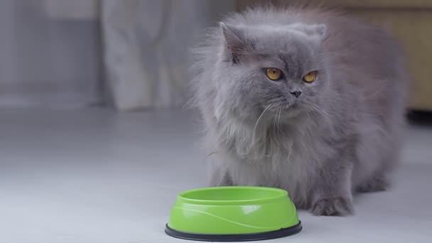 Britský kocour stojící u mísy čeká muž ruka nalije jídlo do mísy, kočka začne jíst
