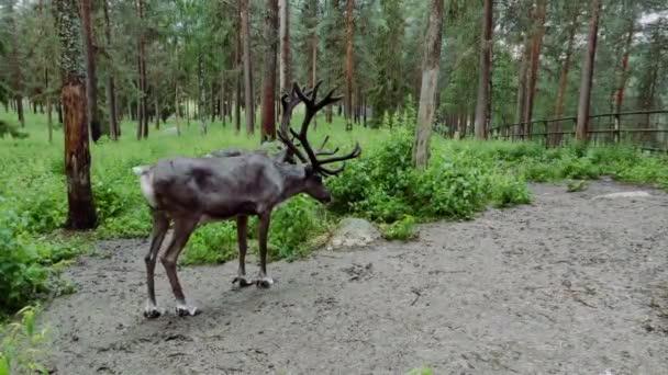 Néhány vad jávorszarvas hosszú szarvú áll az erdő közepén és rázza a testét, hogy megszabaduljon a víztől egy csepp eső után.