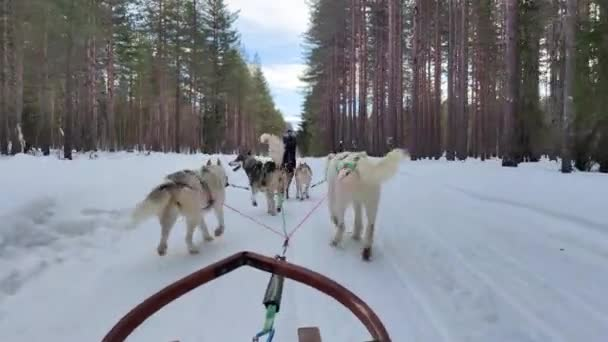 Alaskan Husky dogs are dragging the sledge through the green forest road with beautiful sunny day during the holidays in Sweden 4K video