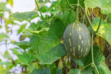 winter melon on its tree in garden