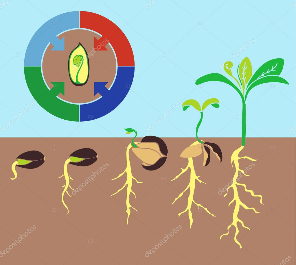 Infographics stages of plant growth, growing plants from corn.