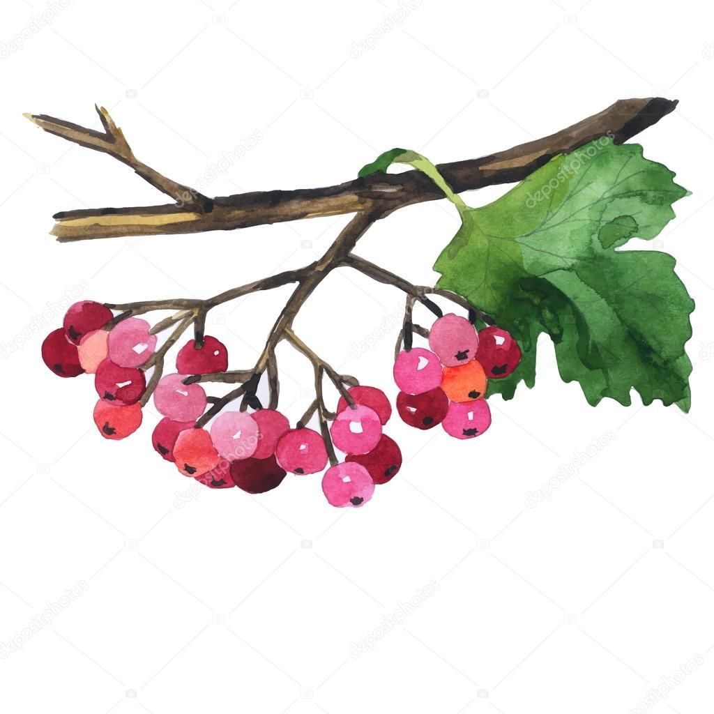 Watercolor hand drawn wild berries. Vector illustration