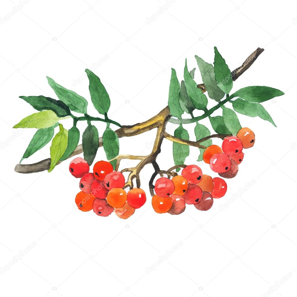Watercolor hand drawn wild berries. Vector illustration