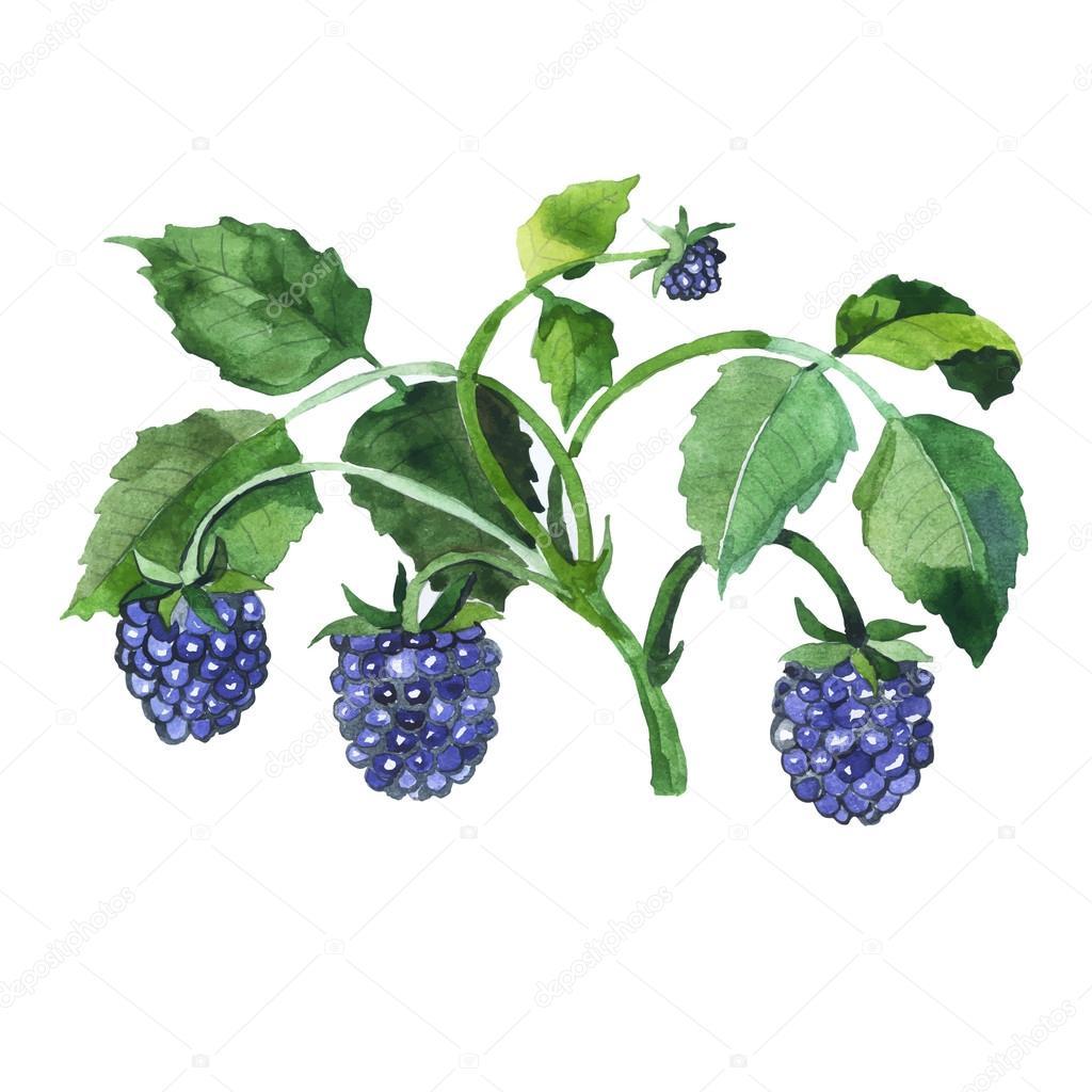 Watercolor hand drawn blue berries. Vector illustration