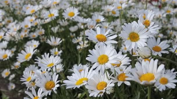 White daisies. A field of white flowers swaying in the wind.