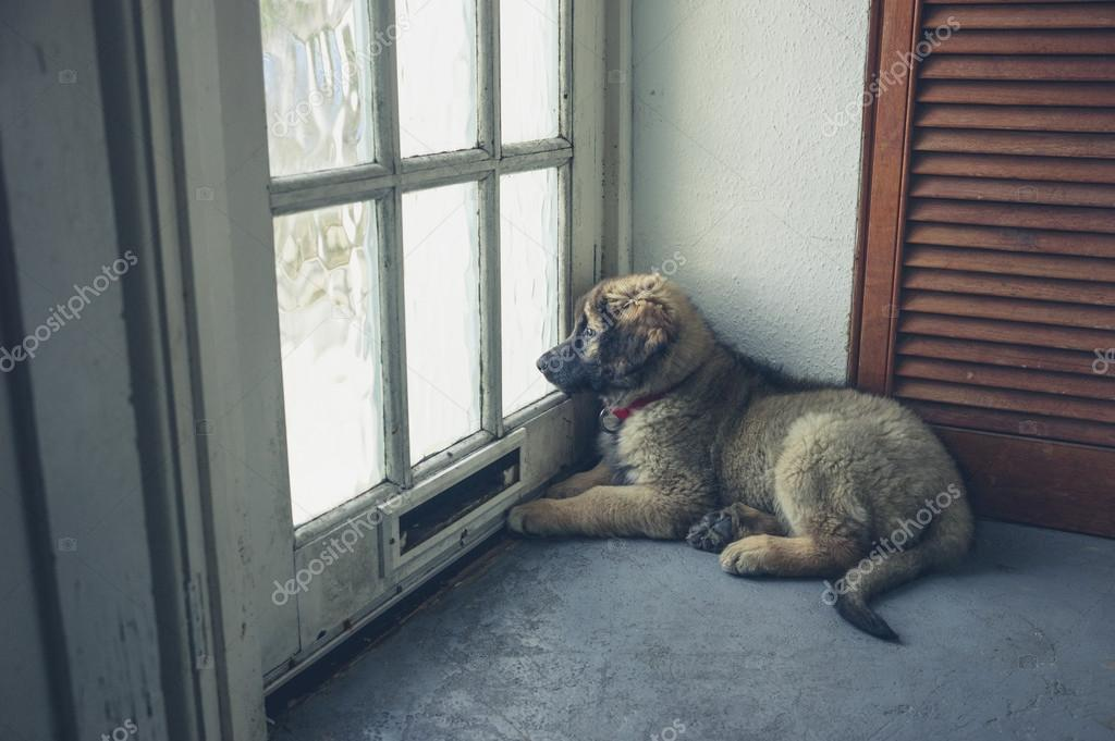 A cute leonberger puppy is waiting by the door u2014 Photo by lofilolo & Leonberger puppy waiting by the door u2014 Stock Photo © lofilolo #105739246