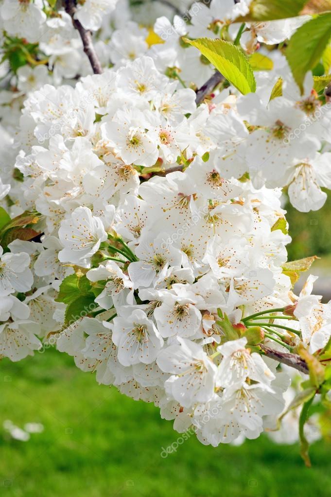 weiß blühenden Kirschbäume Baum — Stockfoto © simoneandress #96503190