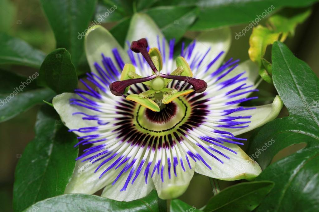 Passiflore Passiflora Caerulea Est Une Plante Grimpante