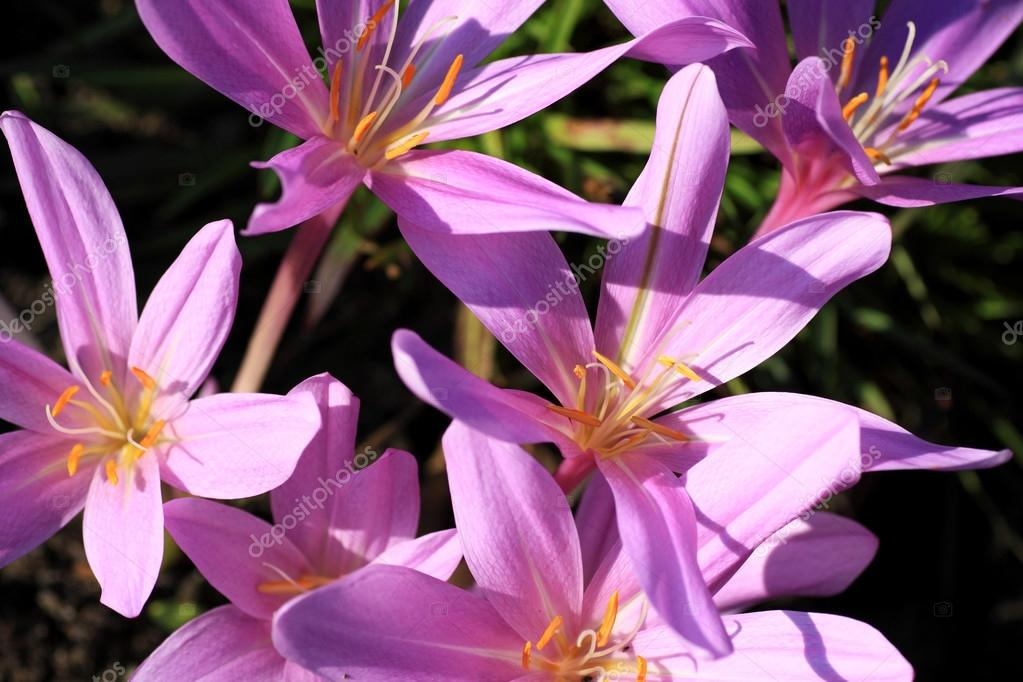 Colchicum autumnale, toxic plants and flowers