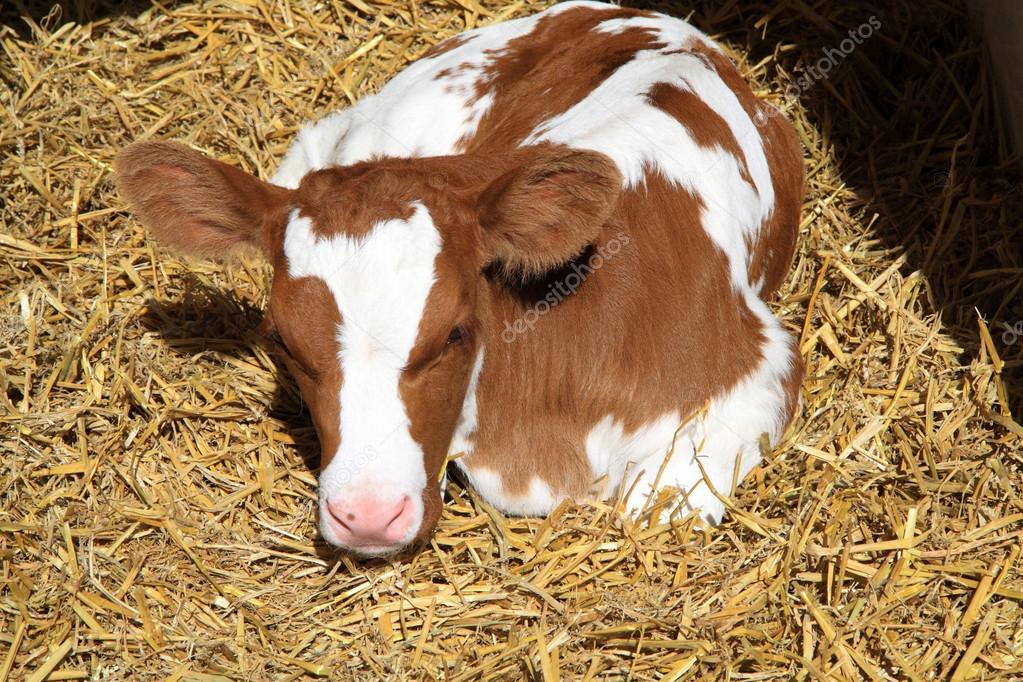 A newborn calf has in the beginning little immune system.