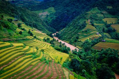 Gold terraced rice fields  in Mu Cang Chai, Yen Bai province , Vietnam