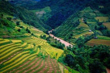 Gold terraced rice fields  in Mu Cang Chai, Yen Bai province , Vietnam