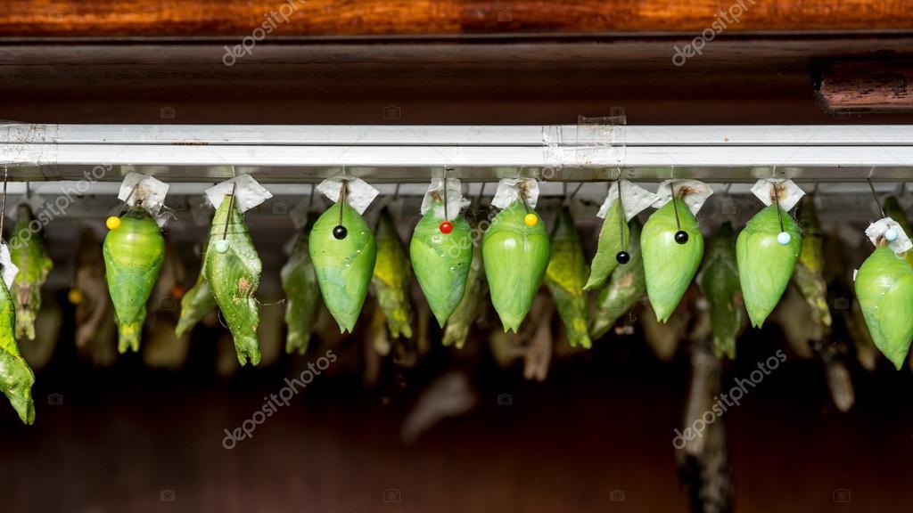Wiersze Motyl Kokonów I Wykluły Motyl Zdjęcie Stockowe