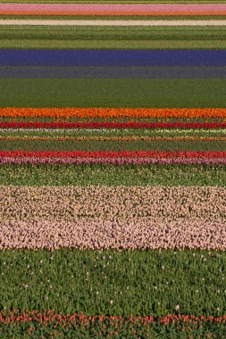 colourful field of tulips