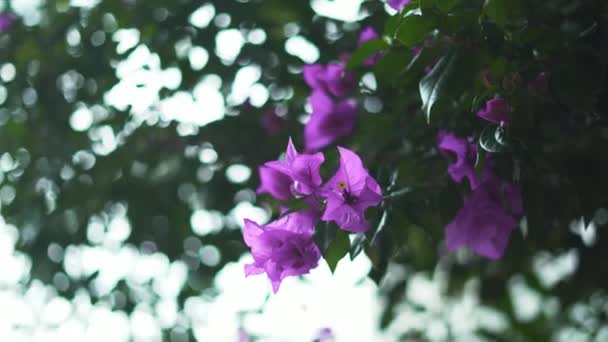 Purple Flowers From a Tree with Blurry Leaves as Background