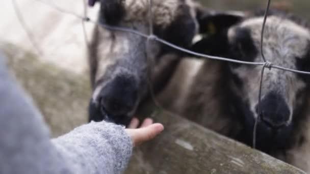 Holčička ručně krmení černobílé ovce přes drát a plot