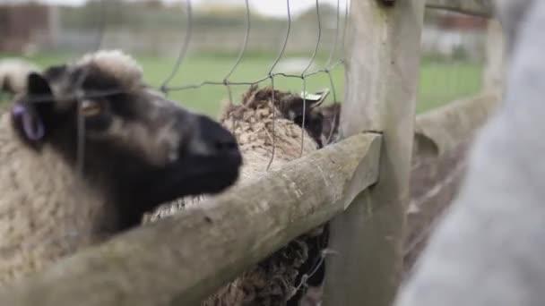 Braune und weiße Schafe recken ihre Schnauze aus einem Holzzaun und Drahtzaun