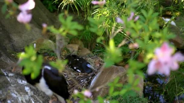 Mírumilovné černobílé volavky na hnízdě za zelenými listy