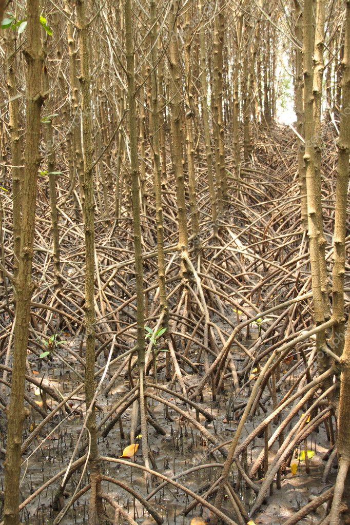 Mangrove trees in the planted mangroves forest
