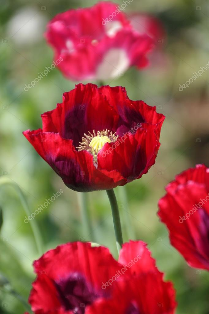 Red opium poppy stock photo maicyber 83773856 red opium poppy flower in chiang mai thailand photo by maicyber mightylinksfo