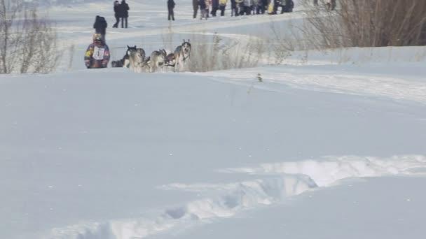 Team Husky-Schlittenhunde mit Hundeführer