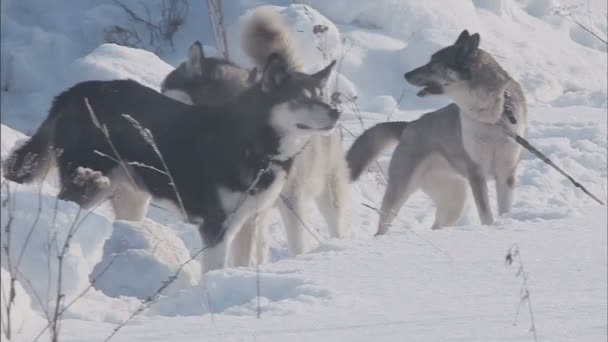 A pack of husky breed dogs