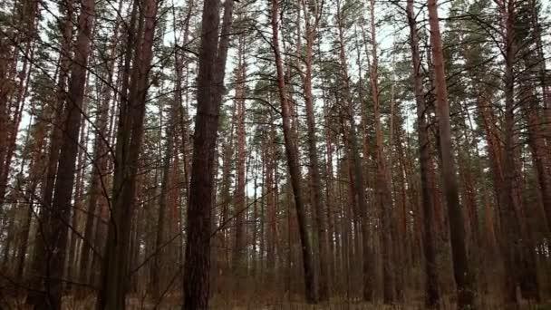 borovice lesní na ranní
