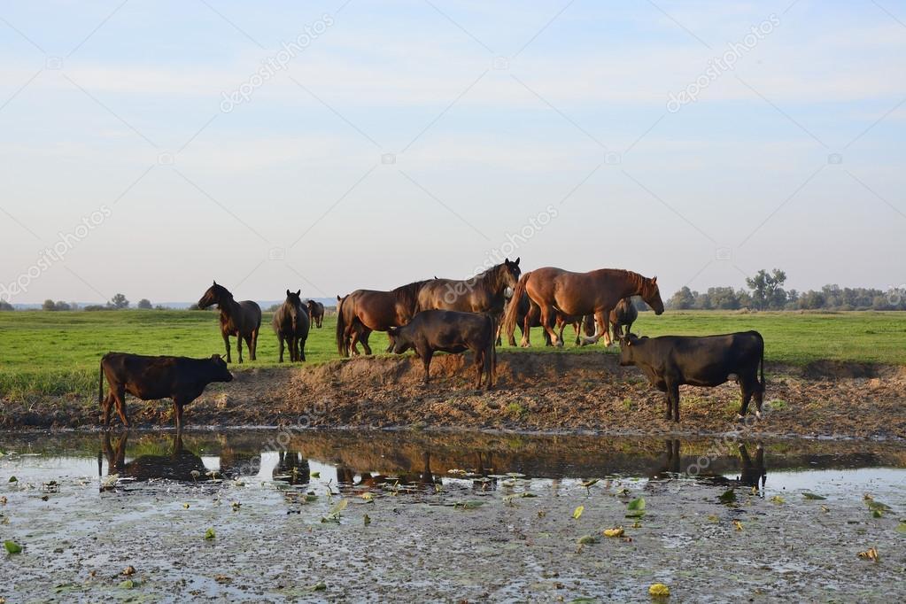 Caballos, Vacas Y Toros En El Campo