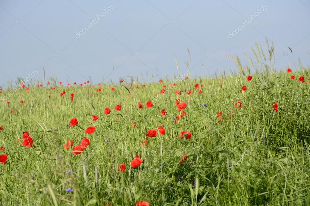 Rural landscape - red poppies