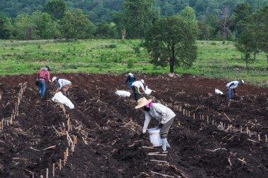 Planting in cassava field.