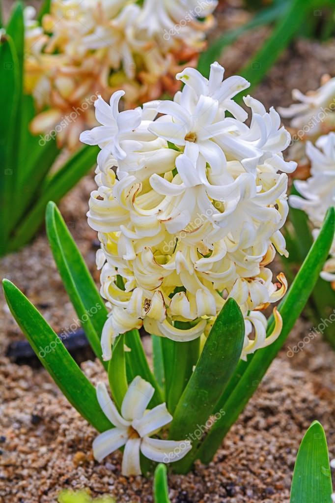 Weiße Hyazinthen Blume — Stockfoto © nuwatphoto #69278535