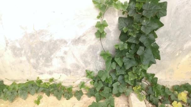 Felvétel a csúszó-mászó uborkáról a koszos betonfalon.