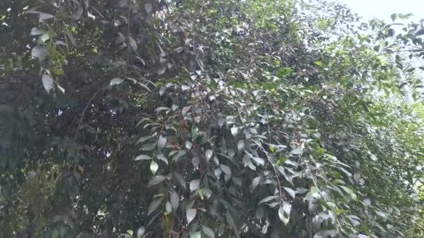 listová fíkusová mikrocarpa a její plody.