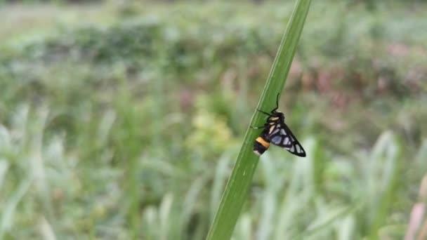 amata bicincta molylepkék párzanak a száron.