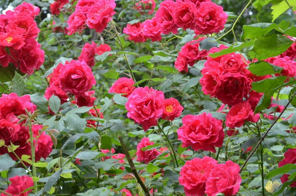 Blossomed bush of red roses