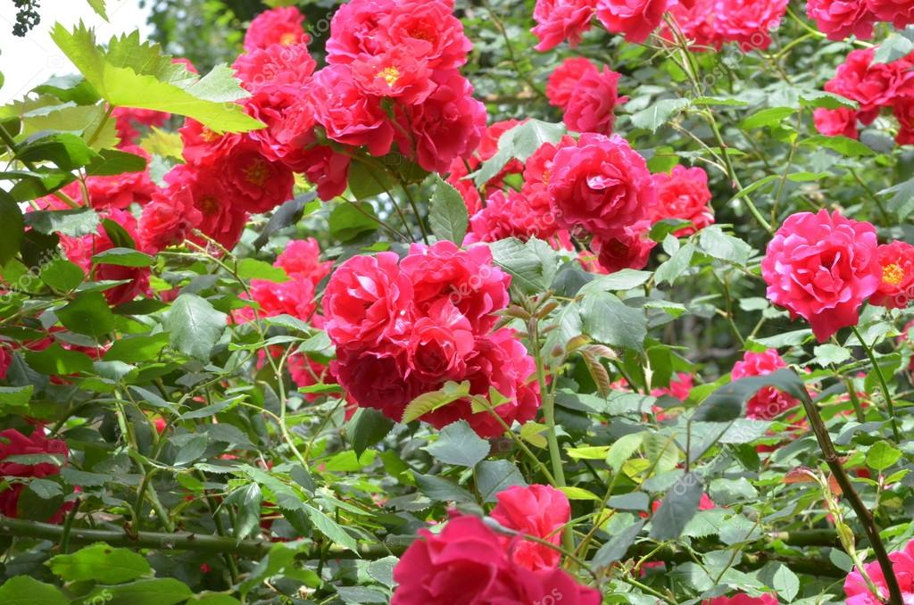 A lot of blooming roses