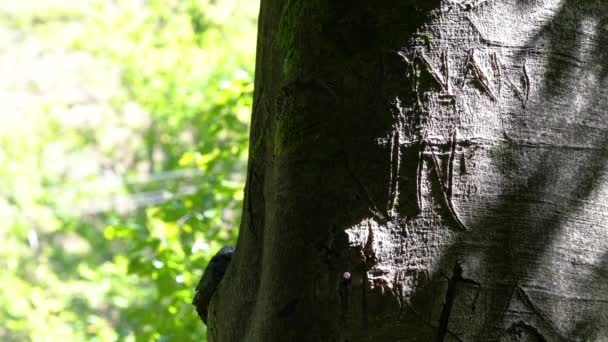 Inscription of name on bark beech tree