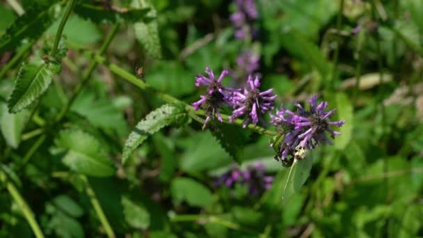 Pillangó a virág fa Betony (Betonica officinalis)