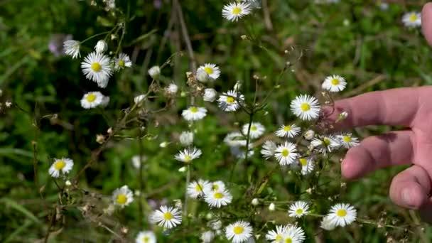 Prairie Fleabane field flowers in slight breeze (Erigeron strigosus)