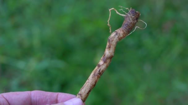 Časté kořen čekanky, zblizka (Cichorium intybus)