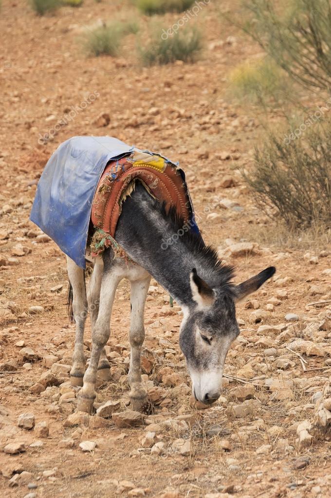 Donkey in Sahara Desert