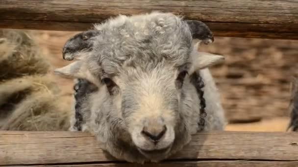 Roztomilé mladé ovce v ohradě