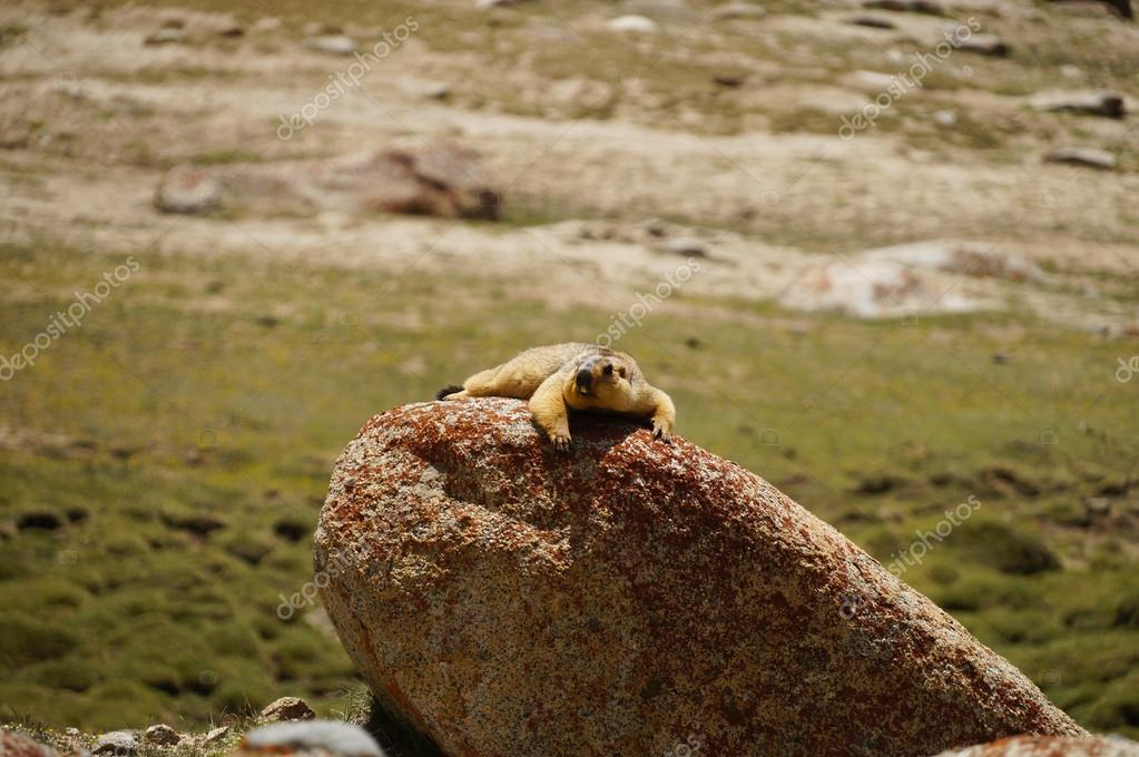 Marmot on the way to Pangong Lake in Ladakh, India
