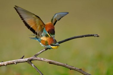 Bee-eater mating , merops apiaster