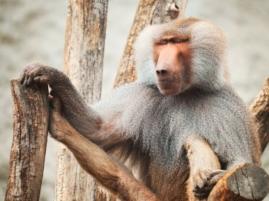 Baboon siitng on branches