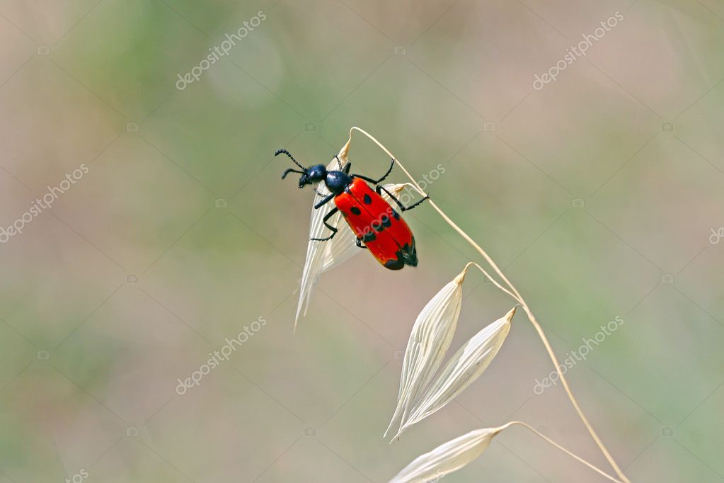 Red beetle with black dots sitting in a blue flower of chicory  Red