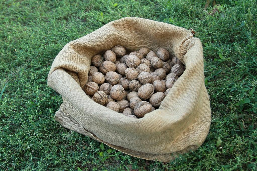 Autumn harvest. A linen bag with nuts stands on the grass