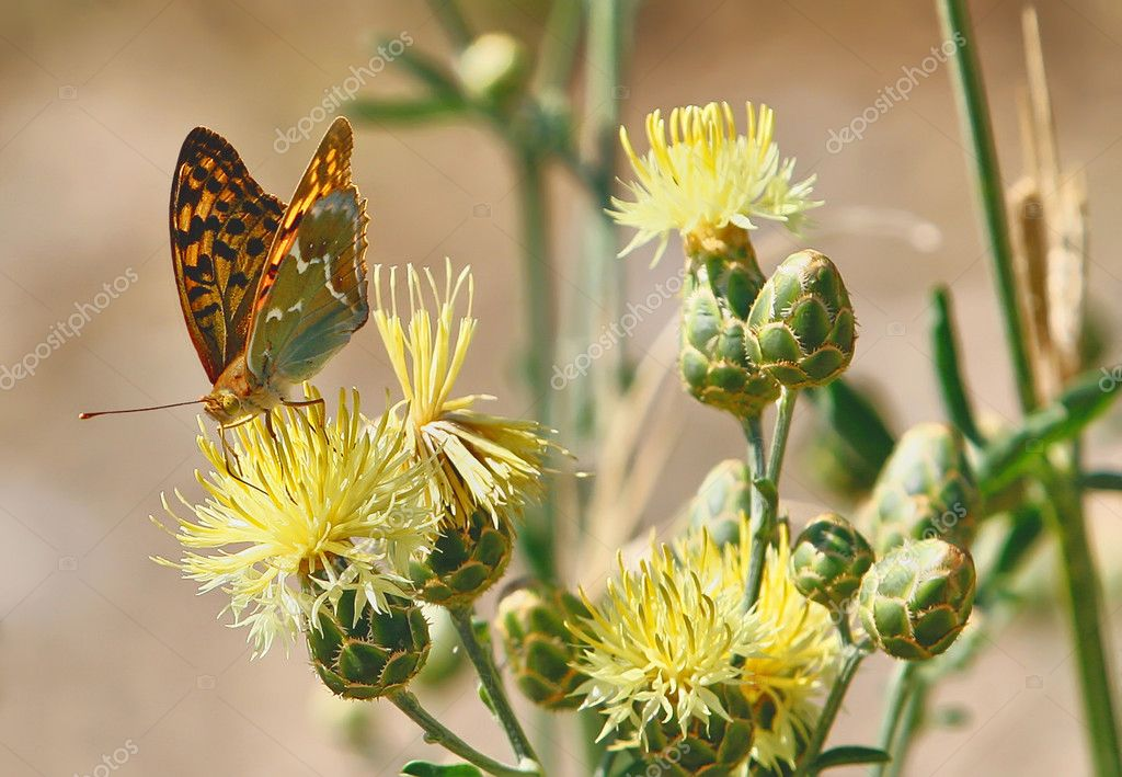 Orange Butterfly admiral is sitting on a yellow field flower kna